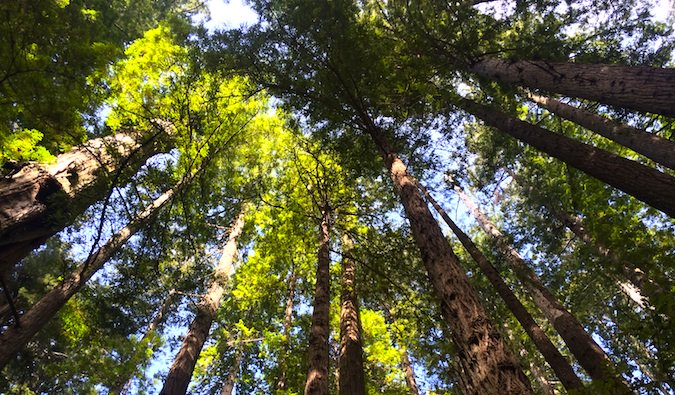 beautiful redwood trees in the redwood national park