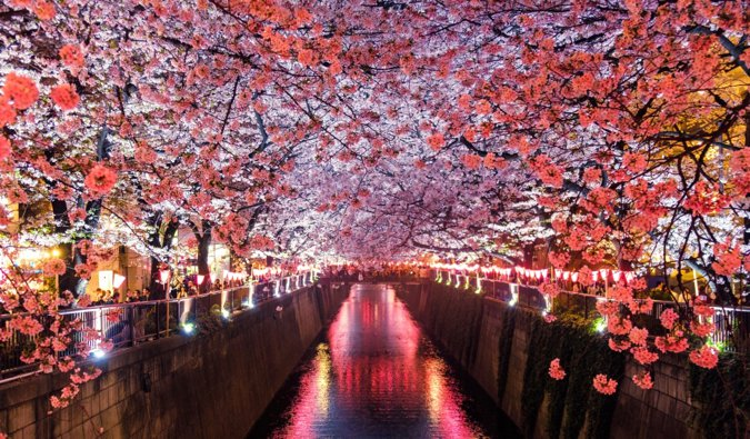 the Meguro river in Tokyo surrounded by cherry blossoms