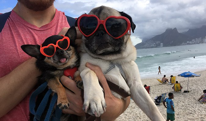 Boogie the pug and Marcelo the chi at the beach