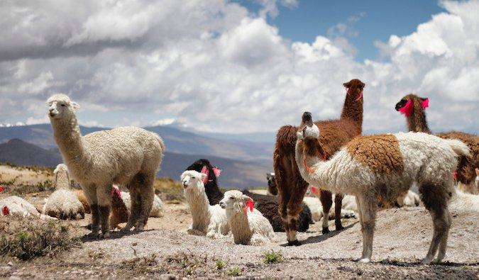 alpacas standing on a hill in Peru