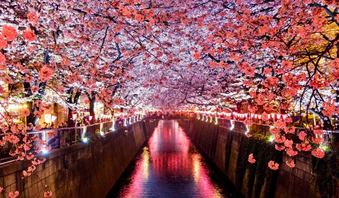 The bright cherry blossoms lining the Meguro River Tokyo, Japan