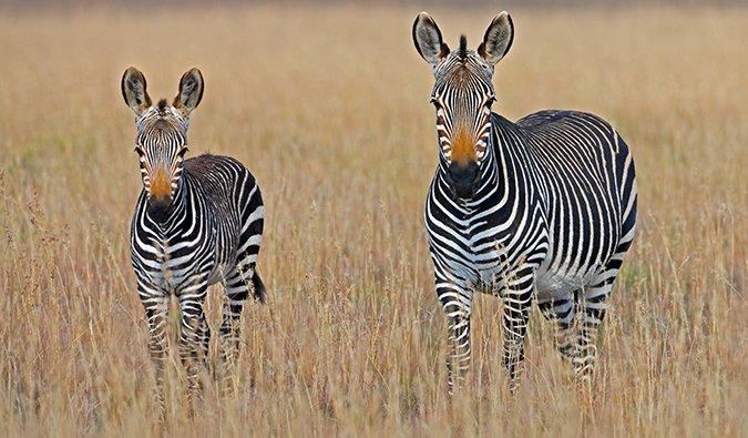 a zebra on safari in South Africa