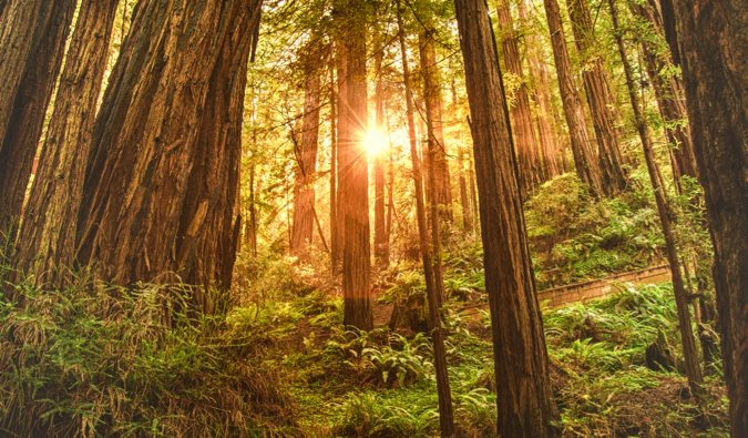The massive trees in the serene Muir Woods in San Francisco, USA